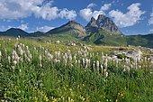 Field of Asphodeles (Asphodelus sp) facing the Pic du Midi d'Ossau, Ossau Valley, Pyrenees, France