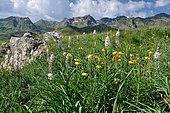 Straw-coloured turk's cap (Lilium pyrenaicum) and Asphodels (Asphodelus sp) in bloom, Pyrennes, Aragon, Spain