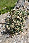 Pyrenean honeysuckle (Lonicera pyrenaica) in bloom, Pyrenees, Aragon, Spain
