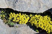 Saxifrage (Saxifraga aretioides) iin rock, Pyrenees, Aragon, Spain