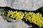 Saxifrage faux-orpin (Saxifraga aretioides) dans rochers, Pyrénées, Aragon, Espagne