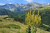 White Mullein (Verbascum lychnitis) in bloom, Cirque d'Aspe, Pyrenees, France