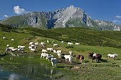 Transhumance at the Soulor pass on the edge of the Soum lake, in the background, the limestone massif of Gabizos: 2639m, Pyrenees, France