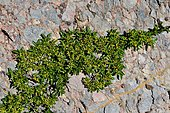 Buckthorn (Rhamnus pumila) on rock, Pyrenees, France