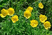 Welsh poppy (Meconopsis cambrica) in bloom, Pyrenees, France