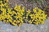 Goldmoss stonecrop (Sedum acre) in bloom, Pyrenees, France