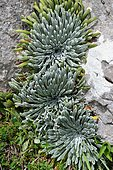 Rosettes inlaid with limestone of the Pyrenean Saxifrage (Saxifraga longifolia) in bloom, Pyrenees, France
