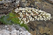 Saxifrage des Pyrénées (Saxifraga longifolia) en fleurs, Pyrénées, France