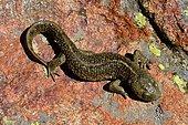 Pyrenean brook salamander (Calotriton asper), Circus of Troumouse, Pyrenees, France
