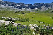 Venus' chariot (Aconitum napellus) in bloom, Hiking in the circus of Troumouse, Pyrenees, France