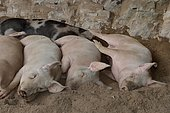 Pigs taking a nap inside the Harpea cave, Basque Country, Pyrenees, France