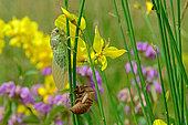Common Cicada (Lyristes plebejus) on Broom in summer, Orb Valley, Hérault, France
