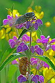 Common Cicada (Lyristes plebejus) on Betony in summer, Orb Valley, Hérault, France