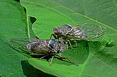 Common Cicada (Lyristes plebejus) on fig leaf in summer, Orb Valley, Hérault, France
