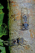 Common Cicada (Lyristes plebejus) on branch in summer, Regional Natural Park of Haut Languedoc, France