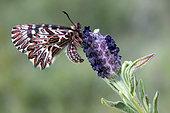 Southern Festoon (Zerynthia polyxena) male closed wings resting on a lavender in spring, Hill of Hyères, Var, France