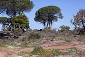 Landscape of the plains of the Maures in spring, with path and Italian Stone Pines (Pinus pinea), Surroundings of Mayons, Var, France