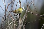 Wood Warbler (Phylloscopus sibilatrix) Perched in a bush in the spring, Salins des Pesquiers, Hyères, Var, France