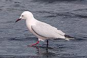 Slender-billed gull (Chroicocephalus genei) Adult in breeding plumage in the spring, Old salt in Hyères, Var, France
