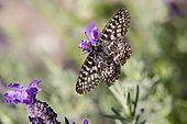 Southern Festoon (Zerynthia polyxena) Female open wings resting on a lavender in spring, Hill of Hyères, Var, France