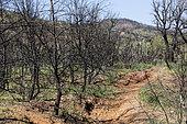 Burnt Forest Landscape Regrowing Spring, Hillsides of Hyères, Var, France