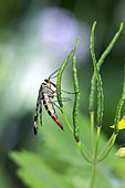 Common scorpion fly (Panorpa communis) on vegetation at the edge of the forest in the spring, Surroundings of Cransac, Aveyron, France