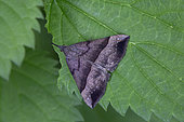 Noctuid moth may be (Hypena proboscidalis) to be confirmed, Moth on a leaf in the forest in spring, Surroundings of Cransac, Aveyron, France