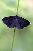 Chimney Sweeper (Odezia atrata) on a grass at the edge of a forest path in the spring, Forest around Cransac, Aveyron, France