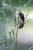 Shield bug (Graphosoma semipunctatum) Couple on a grass in the spring Forest around Cransac, Aveyron, France