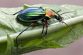 Ground beetle (Chrysocarabus auronitens) on a leaf at the edge of forest in the spring, Vicinity of Cransac, Aveyron, France