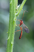 Parasitic hymenoptera (Ophion sp) on a stem of bramble in the spring, forest around Cransac, Aveyron, France