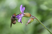 Grey-backed Snout-hoverfly (Rhingia rostrata) foraging a flower in the spring, Forest around Cransac, Aveyron, France