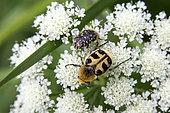 Bee Beetle (Trichius fasciatus) and Oxythyrea (Oxythyrea funesta) on an umbellifer in spring, Clairière de forêt around Cransac, Aveyron, France