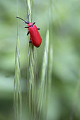 Black-headed Cardinal Beetle (Pyrochroa coccinea) on a grass in spring, in a forest path around Cransac, Aveyron, France