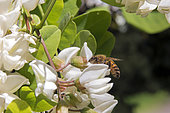 Honeybee (Apis mellifera) Foraging acacia flowers in spring, forest clearing near Cransac, Aveyron, France