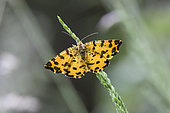 Speckled Yellow (Pseudopanthera macularia) on a grass at the edge of a forest path in the spring, forest around Cransac, Aveyron, France
