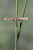 Beautiful Plume Moth (Amblyptilia acanthadactyla) To be confirmed, Placed on grass stalks in the spring, Clairière de forêt around Cransac, Aveyron, France
