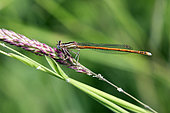 Damselfly (Platycnemis acutipennis) on a grass in spring, forest clearing around Cransac, Aveyron, France