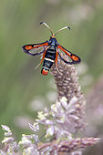 Fiery Clearwing (Pyropteron chrysidiformis) on a grass in spring, forest clearing around Cransac, Aveyron, France