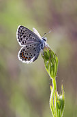Baton Blue (Pseudophilotes baton) on vegetation in the spring, forest clearing around Cransac, Aveyron, France