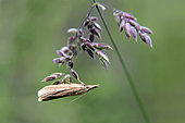 Arctiidae to be determined Spread on a grass in the spring, Forest Lane around Cransac, Aveyron, France