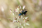 Thick-legged Flower Beetle (Oedemera nobilis) on a grass in spring, forest clearing around Cransac, Aveyron, France