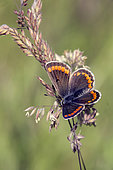 Brown Argus (Aricia agestis) open wings on a grass in spring Forest Lane around Cransac, Aveyron, France