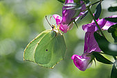 Cleopatra (Gonepteryx cleopatra) Female posed foraging in the spring, maquis of the Massif des Maures, near Hyères, Var, France