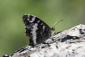 Great-banded Grayling (Brintesia circe) on a pine branch in the spring, Maquis of the Maures massif, near Hyères, Var, France