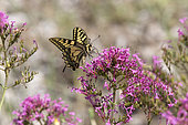 Swallowtail (Papilio machaon) foraging valerian flowers in spring, Maquis of the Massif des Maures, near Hyères, Var, France