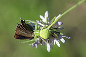 Predation of a Thecla by a green crab spider On a scabieusa in the spring, Massif des Maures, near Hyères, Var, France