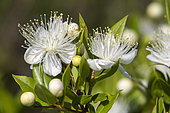 Myrtle (Myrtus communis), Detail of the flowers at the beginning of the summer, Massif des Maures, near Hyères, Var, France