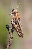 Italian locust (Calliptamus italicus) Closed wing on a heath in summer, Hill of Hyères, Var, France