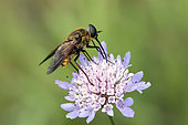 Drone fly (Eristalis sp) foraging a scabieusa in summer, Hill of the surroundings of Hyères, Var, France